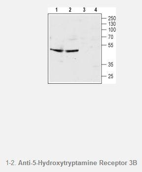 5-Hydroxytryptamine Receptor 3B (extracellular) Antibody (Serotonin receptor 3B), WB, 0.2ml