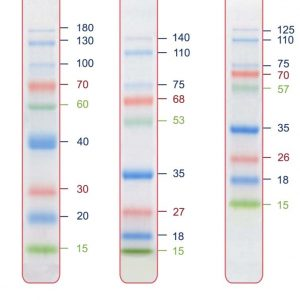 Eco Pre-stained Protein Ladder (1 x 500ul)